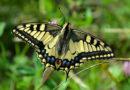 Curso «Conocer las mariposas»